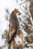 Den Grey Fox Urocyon cinereoargenteusen ser höger från Treetop Royaltyfri Bild