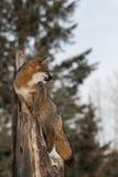 Den Grey Fox Urocyon cinereoargenteusen ser höger från Treetop Arkivbilder