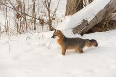 Den Grey Fox Urocyon cinereoargenteusen ser vänster Arkivfoton