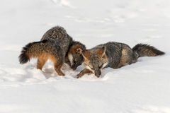 Den Grey Fox Urocyon cinereoargenteusen sniffar i snö Royaltyfri Fotografi