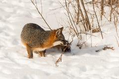 Den Grey Fox Urocyon cinereoargenteusen sniffar på ogräset Royaltyfri Foto
