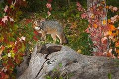 Den Grey Fox Urocyon cinereoargenteusen vänder på journalen Arkivbilder
