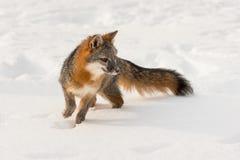 Den Grey Fox Urocyon cinereoargenteusen vänder rätt i snö Royaltyfri Bild