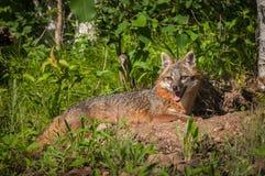 Den Grey Fox Vixen Urocyon cinereoargenteusen ligger ner nära håla Fotografering för Bildbyråer