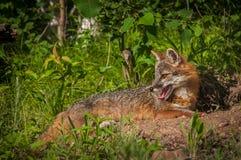 Den Grey Fox Vixen Urocyon cinereoargenteusen ligger se ner lämnad Arkivbild