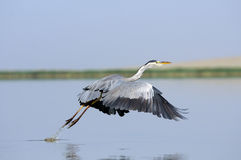 Den Grey Heron starten med ner påskyndar Royaltyfria Foton