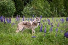 Den Grey Wolf Canis lupusårsgamla djurungen står i lupin Arkivfoto