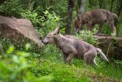 Den Grey Wolf Canis lupusvalpen går vänstert Royaltyfri Bild