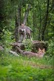 Den Grey Wolf Canis lupusvalpen står uppe på vaggar Fotografering för Bildbyråer