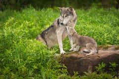Den Grey Wolf Canis lupusvalpen tigger från vuxen människa Royaltyfri Fotografi