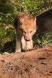 Den Grey Wolf (Canislupus) valpen går framåtriktat Fotografering för Bildbyråer