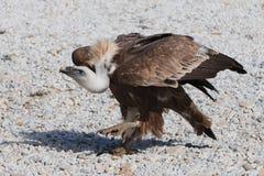 Den Griffon gammet går på grus Stor preditorfågel royaltyfria bilder