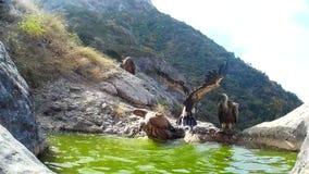 Den Griffon gammet Gyps fulvus som badar i ett bergbad lager videofilmer