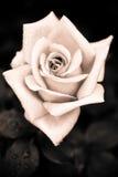 Den Grungy rosa färgrosen med vatten tappar på gotisk stilbackgr för tappning Royaltyfri Foto