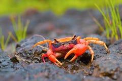 Den Gubernatoriana thackerayien nyligen upptäckt art av den ljust färgade sötvattnet fångar krabbor Satara arkivbild