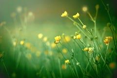 Den gula ängen blommar tätt upp Arkivfoton