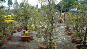 Den gula aprikons blommar som ett symbol av det nya året i sydliga Vietnam Arkivfoto