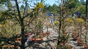 Den gula aprikons blommar vårdag i sydliga Vietnam Royaltyfri Bild