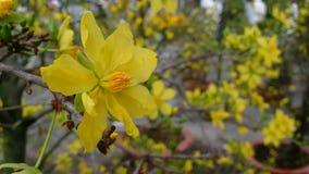 Den gula aprikons blommar vårdag i sydliga Vietnam Arkivfoton