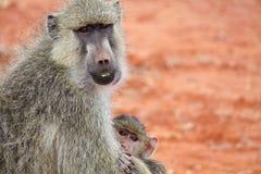 Den gula babianen med behandla som ett barn Royaltyfri Bild