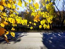 Den gula björken lämnar i början av hösten arkivfoton
