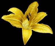 Den gula blommaliljan på svarten isolerade bakgrund med den snabba banan inga skuggor Lilja efter regnet med droppar av vatten på Royaltyfria Foton