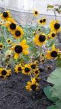 Den gula blomman Arkivfoton