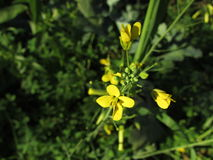 Den gula blomman Arkivfoto
