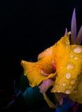 Den gula blomman Royaltyfri Fotografi