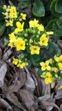 Den gula blomman Arkivbilder