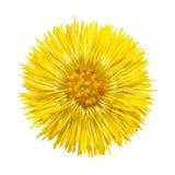 Den gula blomman med gula stamens Royaltyfri Foto