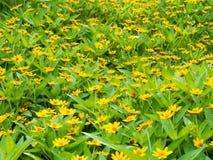 Den gula blomman sätter in Fotografering för Bildbyråer