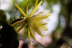 Den gula blomman sköt inomhus, suddig backround Arkivbilder