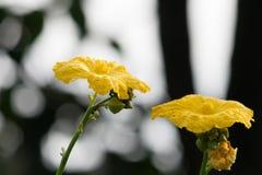 Den gula blomman, slut av zucchinin blommar upp med suddighetsbackgrou Arkivbild