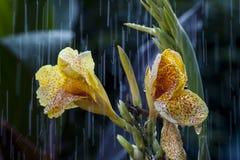 Den gula blomman under regnet Royaltyfri Bild