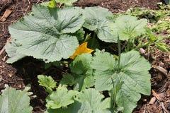 Den gula blommazucchinin planterar att växa i växthus i trädgården Royaltyfria Foton