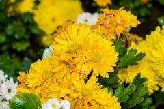 Den gula dahlian blommar i trädgårds- full blom royaltyfri bild