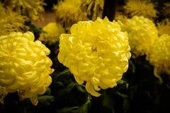 Den gula dahlian blommar i trädgårds- full blom arkivbilder