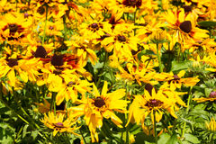 Den gula echinaceaen blommar bakgrund Royaltyfri Bild