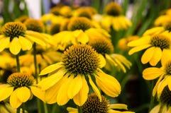Den gula echinaceaen blommar i blom Royaltyfria Foton