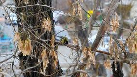 Den gula fågeln på trädet äter lager videofilmer