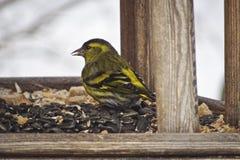Den gula fågeln Siskin matar på frö royaltyfria bilder