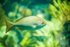 Den gula fisken driver bland koraller på akvariet Arkivbilder