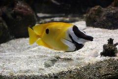 Den gula fisken i havet royaltyfri foto