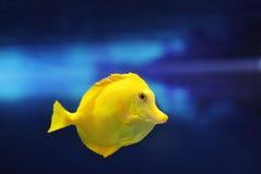 Den gula fisken simmar i det blåa vattnet av akvariet Arkivfoto
