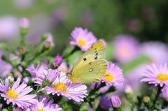 Den gula fjärilen samlar nektar på en knopp av Astra Verghinas Arkivbild