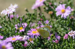 Den gula fjärilen samlar nektar på en knopp av Astra Verghinas Arkivbilder