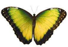 Den gula fjärilen som isoleras på vit bakgrund med spridning, påskyndar Fotografering för Bildbyråer