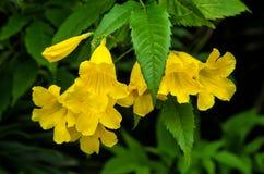 Den gula fläderna, gula klockor eller trumpetvinrankan blommar Tecoma Stans Royaltyfri Foto