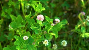 Den gula fluffiga humlan samlar nektar på rosa växt av släktet Trifoliumblommor bland grönt gräs på en solig dag lager videofilmer